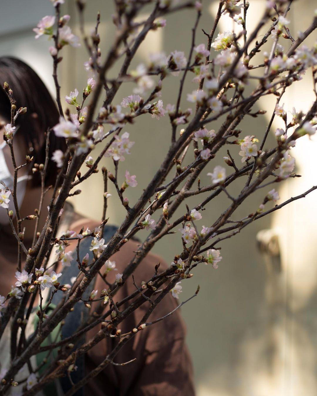 Hoa chơi Tết: Sakura Nhật được hội sành điệu mê tít, giá cao nhưng vẫn lọt top hoa siêu hot - Ảnh 6.