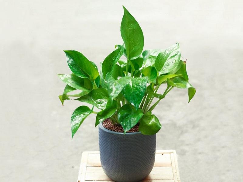 Muốn không gian sống luôn xanh mát, đừng bỏ qua những loài cây trồng này giúp hạ nhiệt cho ngôi nhà trong những ngày hè oi nóng - Ảnh 6.